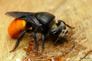 Bee Pest Control Melbourne